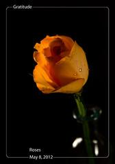 May 8, 2012 Orange Rose (susiecw47) Tags: orange flower fleur rose olympus potd vase 365 e500 darkbackground