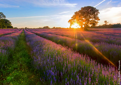 Lavender Starburst. (Ollie Smalley Photography  Travelling) Tags: uk blue light england sky sun black tree field lines silhouette clouds canon photography golden evening purple farm south horizon lavender sigma ollie crop flare lone lonely 1020mm leading croydon mayfield smalley starbust 550d t2i