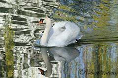 cygne_ (robert antoun) Tags: fauna del flora y wildlife mundo palladium topshots natureselegantshots thebestofmimamorsgroups theoriginalgoldseal