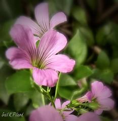 Spring 3-20-14 (gailpiland) Tags: pink flower spring photoart tmi hypothetical autofocus thegalaxy theperfectphotographer thebestofday sharingart awardtree gailpiland ringexcellence netartii infinitexposure