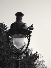 Le nouveau pigeonnier (21gb) Tags: blackandwhite noiretblanc pigeons montmartre lampadaire paris18 lumix14140mmv2