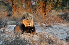Lion in the early summer sun (Rob Keulemans) Tags: lion earlymorning beautifullight 2014 kgalagadi
