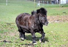Sam The Shetland (R~P~M) Tags: uk greatbritain england horse unitedkingdom pony tring equestrian shetland hertfordshire herts
