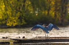 Great Blue Heron (gauss5050) Tags: sunset usa lake bird heron nature animal wisconsin wildlife madison lakeshore uwmadison mendota animalplanet greatblueheron goldenhour lakemendota universitybay