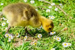 Gosling in the daisies. (CAscotPhotography) Tags: cute bird nature birds animal animals closeup nikon dof wildlife goose depthoffield gosling rop wildfowl d7100 cascotphotography