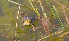 2016-05-06 - 15.52.07 - _L5B2600 - 6 (Rossell' Art) Tags: pad frog toad sapo rana frosch grenouille kikker rano bufo r krte crapaud  rospo doodebemde batracien
