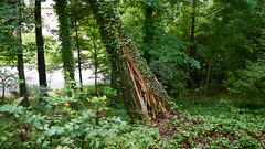 DSCN1412 (VerlynC) Tags: tree falling hickory