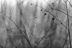La Tela (Chris Momberg) Tags: chile chris naturaleza white black macro alex nature de spider nikon christopher concepcion micro hd fotografia araa fotografo chileno tela cursos natgeo pumarino momberg chmomberg