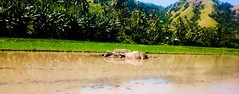 "Rest....""Plowing Buffalo"" Ricefield.. (Donny Leonardi) Tags: buffalo village explore plow ricefield exploreflores offcoursemaumere"