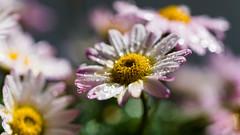 Der Sommer kommt (Sascha Wolf) Tags: plant flower macro nikon pflanze d750 blume blte margerite strauchmargerite