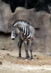 The sad Z (brakes4bunnies) Tags: park zoo sandiego stripes zebra