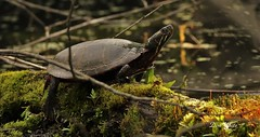 painted turtle (don.white55 Thank you...) Tags: animal composition moss turtle reptile scenic mossy deadwood herp herpetology wildwoodpark wildwoodlake donwhite harrisburgpennsylvania pennsylvaniawildlife canoneos70d paintedturtlechrysemyspicta tamronsp150600mmf563divcusda011 donpwhitephotography flickrdonwhite55 thatswildphotography
