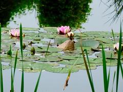 Waterlelies . (Franc Le Blanc .) Tags: flowers nature lumix pond flora waterlily panasonic vijver waalwijk waterlelies