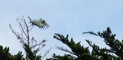 geronimo (keith midson) Tags: tree bird fly flying branches flight australia foliage tasmania hobart cockatoo leap