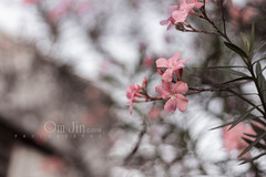 .:: Promises ::. (omjinphotography) Tags: pink flowers tree nature petals blossom bokeh photoart plasticlens 50mmlens singleexposure canon1100d rebelt3 omjinphotography