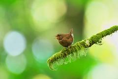 Forest sonata (Adam Wang) Tags: park winter bird nature forest branch pacific bokeh wildlife wren mossy tweet sealbay