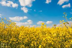 Raps (dixde) Tags: blue sky color nature colors yellow landscape pflanzen 1785mm raps l rapsfeld polfilter wannweil canoneos40d