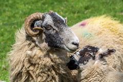 DSC_0088 - Family portrait (SWJuk) Tags: uk portrait england closeup spring nikon holidays sheep unitedkingdom britain yorkshire gb lamb dales yorkshiredales swaledale ewe 2016 d7100 swjuk nikond7100 may2016