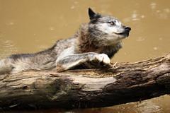 Loup noir (Carahiah) Tags: water wolf falling animaux rhodes wolves choc regard tombe branche saintecroix glisse parcanimalier blackwolves loupnoir