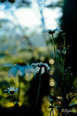 Morning bokeh - Flower (ajanth.v) Tags: morning plants mountain flower green sunrise nikon bokeh outdoor srilanka mountainside knuckles d7100 18140mm
