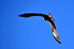 Milan noir (Diegojack) Tags: milan nikon noir ciel vol oiseaux morges nikonpassion d7200