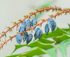 Wrinkle Cream needed. (Omygodtom) Tags: blue plant abstract macro art lines outdoors berry nikon natural bokeh scene serene nikkor tamron90mm selectivefocus oregongrape d7100