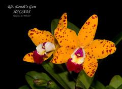 Rhyncholaeliocattleya Dendi's Gem HCC/AOS (Orchidelique) Tags: plant orchid flower nature c exotic cattleya smale rlc hybrid hcc aos suncoastsunspots junglegem ncjc rhyncholaeliocattleya dendisgem