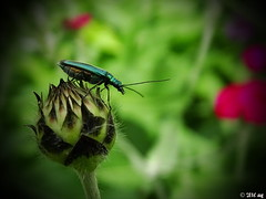 unbekannter Kfer (MacroManni) Tags: deutschland germany nrw rheinerftkreis bergheim insekt insect makro macro kfer bug beetle