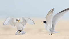 Least Tern Courting/Mating Series 10/10 (bmse) Tags: food fish beach fog canon overcast mating l ritual f56 behavior least tern exchange courting salah 400mm wingsinmotion 7d2 hunntington bmse baazizi