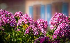 Flower Power-Part V (roland_lehnhardt) Tags: flowers light shadow backlight licht spring dof bokeh blumen schatten frhling unschrfe tiefenbach flowergroup