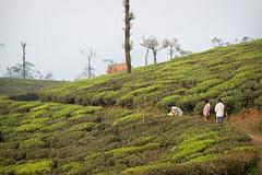 People and elephants (Ganesh raghunathan) Tags: people india peace wildlife prayer tamilnadu asianelephant teaestate anamalais humanelephantcoexistence humanelephantconfict