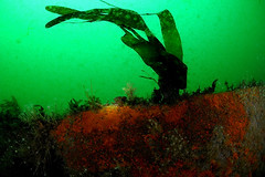 Plymouth-201605-JamesEaganLayne1-1-KelpOnHull (Tony J Gilbert) Tags: macro marine underwater plymouth diving scylla jameseaganlayne nikond300 handdeeps wwwdivingplymouthcom ceeking hilseapointrocks