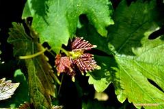 Ma vigne 03 (voyageursdumonde1) Tags: nature village vigne raisin isre salaisesursanne france2016