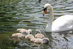 Grub's Up Kids! (RiverCrouchWalker) Tags: family lake london water birds spring swan weed feeding may ripples cygnets stjamesspark muteswan cygnusolor 2016