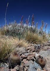 Neoporteria engleri (Umadeave) Tags: chile cactus montagne plante flora chili desert flore eriosyce vizcachas neoporteria engleri