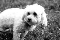 IMG_0220 (Chrissy Tha Black) Tags: new york city nyc portrait bw dog love brooklyn canon lens fun peace zoom outdoor walk portraiture williamsburg daytime date monchrome
