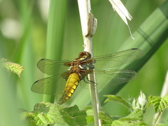 Broad Bodied Chaser (stevencarruthers93) Tags: greenheart