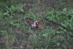 Bilateral Gynandromorph Cardinal 61 (Gary Storts) Tags: cardinal gynandromorph orninthology birdwatching birds cardinalis cardinaliscardinalis northerncardinal
