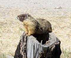 _Q8A0845PrelimYBMarmot (birdbug3) Tags: marmota flaviventris