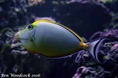 Naso Tang (SausageArm) Tags: fish male water aquarium nikon marine aqua underwater tank salt salty blonde aquatic reef reefs tang naso aquatics d90 18105mm