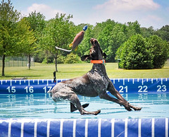 112 Bailey leaving her duck behind (The_Little_GSP) Tags: duck bailey oops gsp
