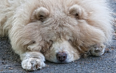 Relaxed (cjh44) Tags: home tobias companion chowchow
