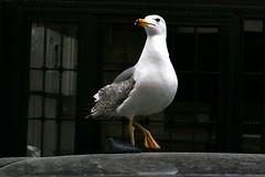 P1000650 Gull on not too hot car roof (omersad) Tags: urban streets birds gull moda istanbul panasoniclumix fz1000