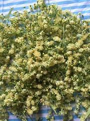 Oogst (quivis*) Tags: flowers tea harvest lime linde limetree oogst tilleuil lindebloesem