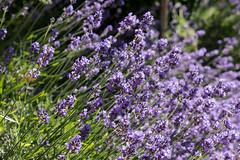 Berlin-Marzahn, Grten der Welt, Orientalischer Garten: Lavendel - Lavender (riesebusch) Tags: berlin marzahn grtenderwelt orientalischergarten