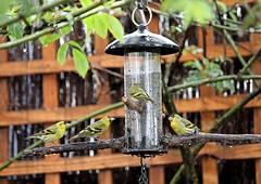 Siskins Return (Judy's Wildlife Garden) Tags: judykennett knightonpowys siskinsreturn
