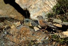 Sordone (Rolando CRINITI) Tags: europa italia liguria uccelli genova prunella passo volatili collaris faiallo ornitologia sordone