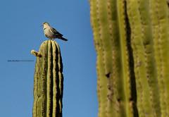 Watching the city from up above. (Ana Encinas.) Tags: cactus naturaleza verde green bird nature sonora méxico flora desert natura ave mexique desierto thorn hermosillo pájaro messico espina anaencinas