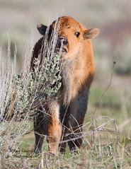 Curiosity (Happy Photographer) Tags: buffalo nikon wyoming reddog calf bison grandtetonnationalpark babyanimals d80 happyphotographer