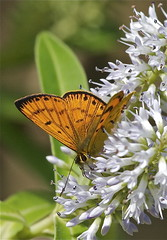Common copper butterfly (male) - Lycaena salustius (Steve Attwood) Tags: newzealand nature canon butterfly insect wildlife wellington karorisanctuary hebe zealandia lycaena commoncopper lycaenasalustius commoncopperbutterfly